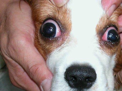 диабет у собаки симптомы